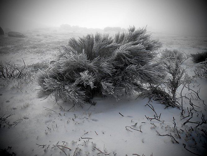 frozen bush CTBA001